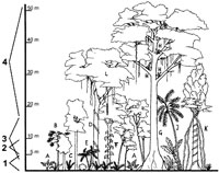 Typical structure of a tropical lowland rainforest.